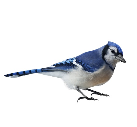 Blue Jay (Cyanocitta cristata) ,On White Background Stock Photo