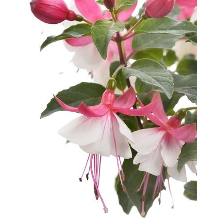 flores fucsia: Rosa y negro flores fucsias