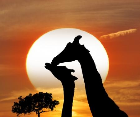 giraffe silhouette: Silhouettes Of Giraffes Against A Sunset