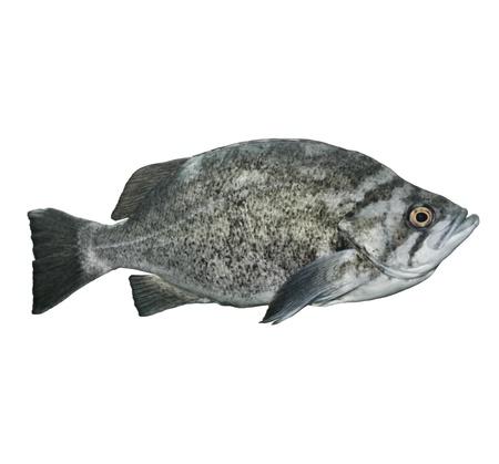 Rockfish Isolated On White Background Reklamní fotografie