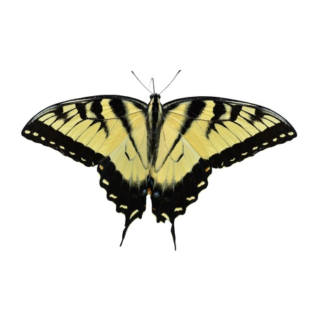 open wings: Eastern Tiger Swallowtail Butterfly Isolated On White Stock Photo
