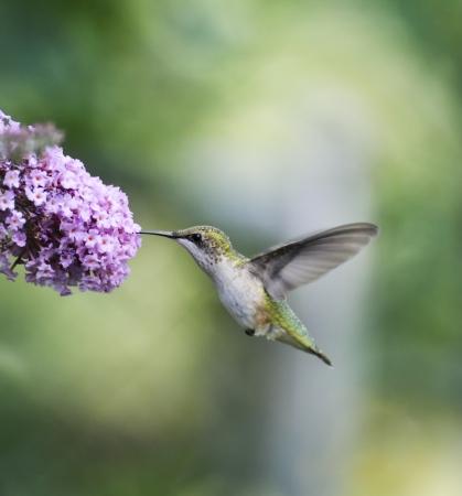 ruby throated: Ruby Throated Hummingbird Female (Archilochus Colubris)