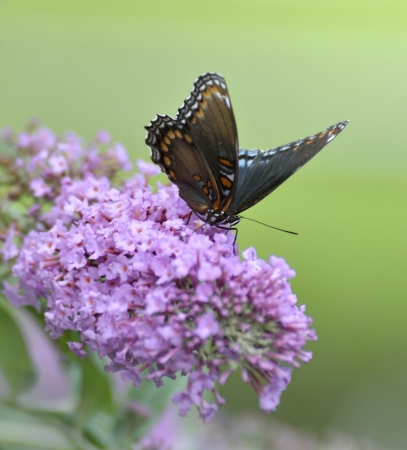 admiral: Red-Spotted Purple Admiral Butterfly On The Butterfly Bush