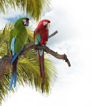 perching: Colorful  Macaw Parrots Perching On A Branch
