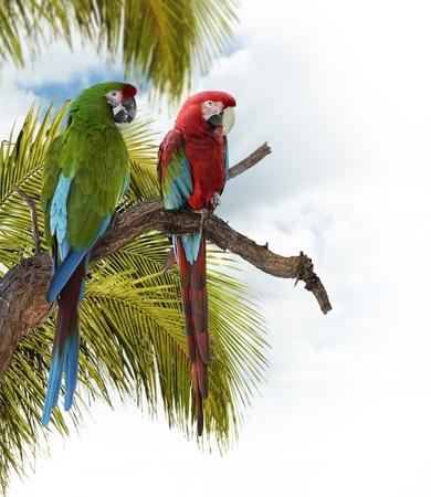 loro: Loros guacamayo de color sentarse en una rama Foto de archivo