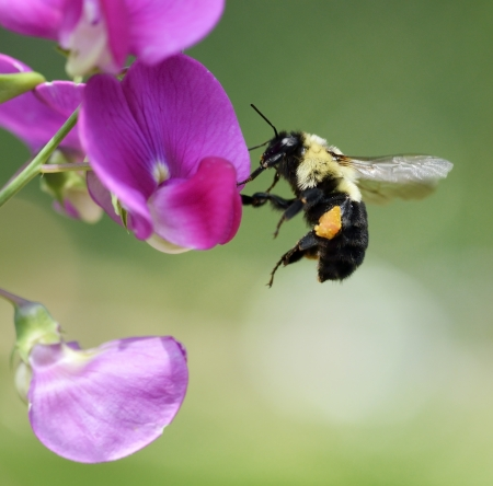 bee pollen: Bumble-Bee sitting On A Flower