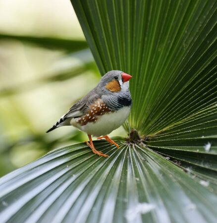 Zebra Finch Sitting On A Palm Leaf photo