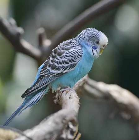 budgie: Blue Budgerigar Perching On A Branch