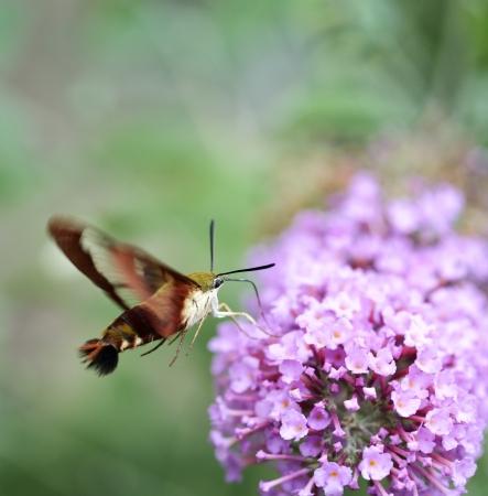 Common Clearwing Sphinx Moth Or Hummingbird Moth  版權商用圖片