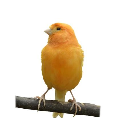 Wild Canary Isolated On White Background