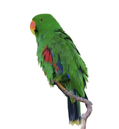 eclectus parrot: Green Eclectus Parrot Isolated On White Background  Stock Photo