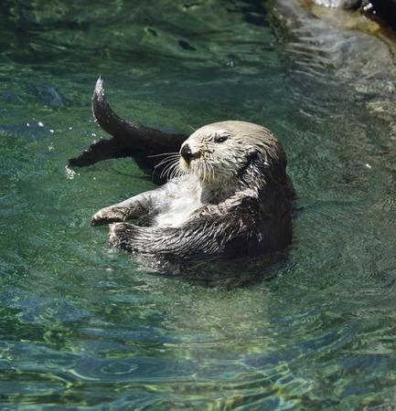 sea otter: Wild Sea Otter (Enhydra Lutris)  Floating Stock Photo