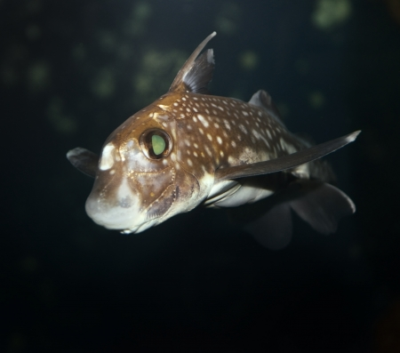 A Spotted Ratfish,Close Up