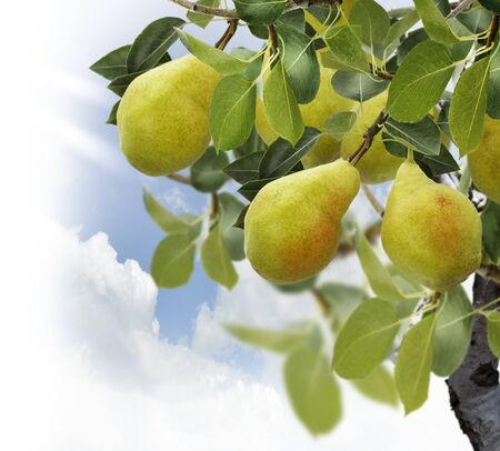 Pear Tree Met Vruchten, Close Up Stockfoto
