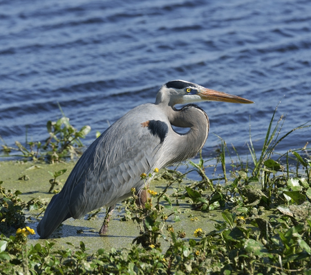 Great Blue Heron (Ardea herodias) Feeding photo