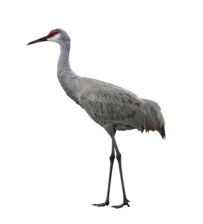sandhill crane: Sandhill Crane, Isolated On White Background