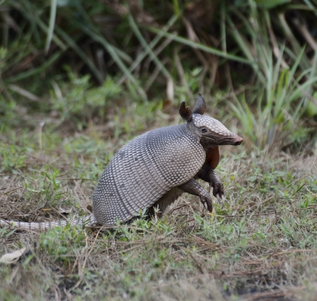 Young Armadillo In A Florida Park