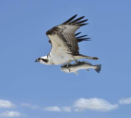 osprey bird: Flying Osprey Carrying A Fish In Its Talons  Stock Photo