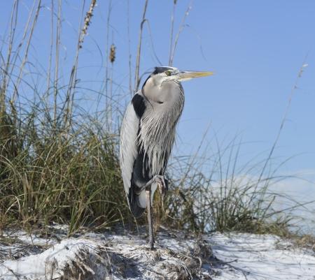 blue heron: A Great Blue Heron On A Sandy Beach