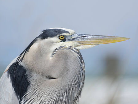 great blue heron: Great Blue Heron,Close Up