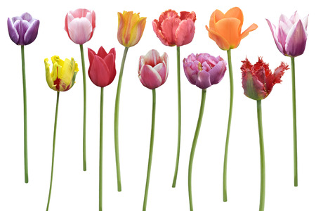 Colorful  Tulips Flowers In A Row Isolated On White