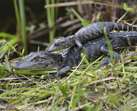 Young Alligators Basking In The Sunlight  photo