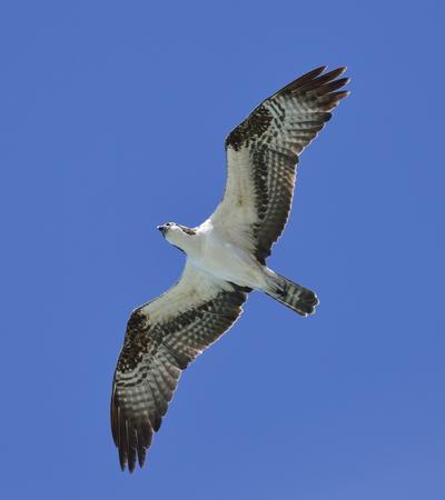 osprey: Soaring Osprey Against A Blue Sky