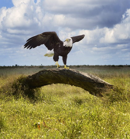 perching: American Bald Eagle Perching On A Tree Stock Photo