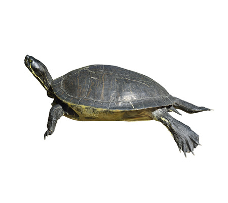 Florida Cooter Turtle Isolated On White Background