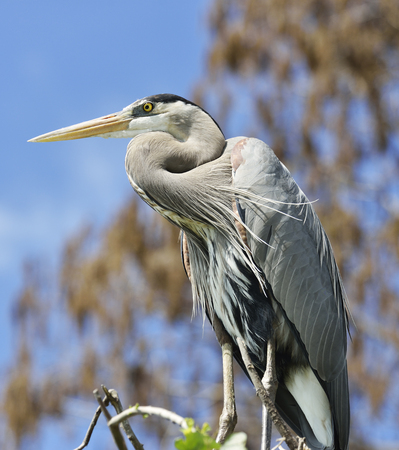 great blue heron: Great Blue Heron Perching On Tree Branches Against Blue Sky
