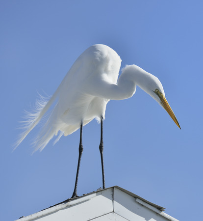 waterbird: Great White Egret Stands On The Roof