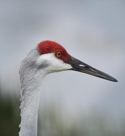 sandhill crane: Closeup Of A Sandhill Crane  Stock Photo