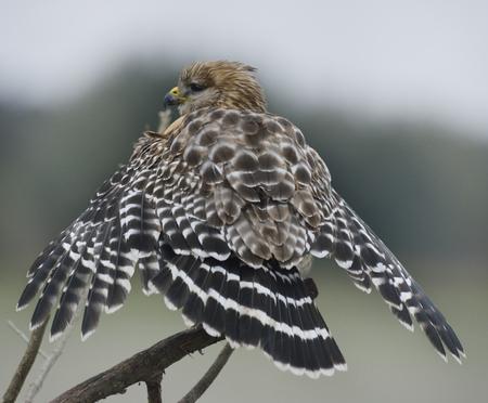 shouldered: Red Shouldered Hawk  In Florida Circle B Bar Reserve