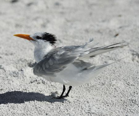 seabird: Elegant Tern Seabird Resting On The Beach