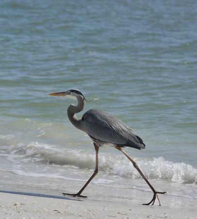 blue heron: Great Blue Heron Walking In Florida Beach Stock Photo
