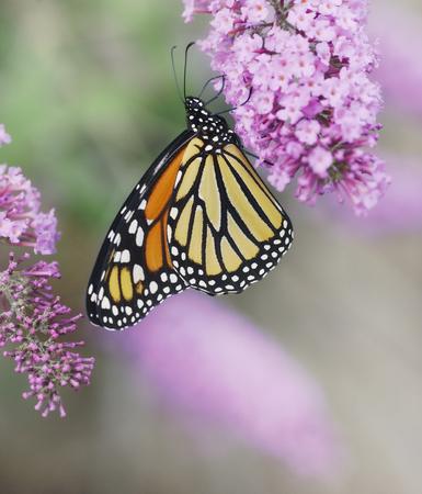 Monarch Butterfly On The Purple Flowers 스톡 콘텐츠