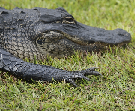 Florida Alligator Resting On The Grass photo