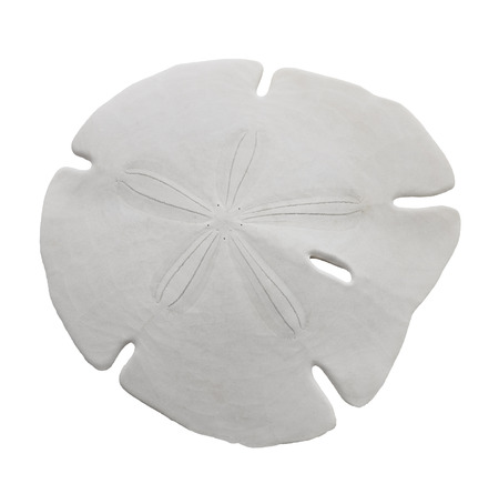 Sand Dollar Sea Shell Isolated On White Background  Foto de archivo
