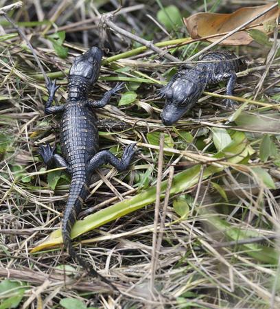 alligators: Baby Alligators In Florida Wetlands