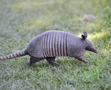 Armadillo Walking In Florida Circle B Bar Reserve 版權商用圖片 - 28517203