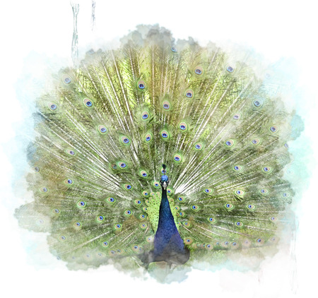 Watercolor Digital Painting Of Peacock Stock Photo