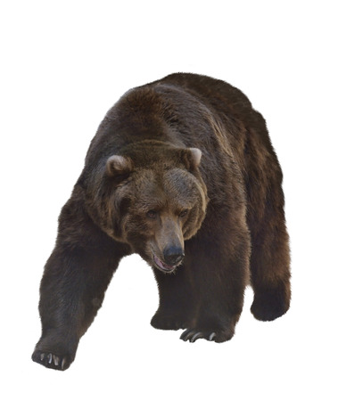 brown: Watercolor Digital Painting Of  Grizzly Bear Isolated On White Background