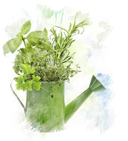 Watercolor Digital Painting Of fresh Herbs In Watering Can 版權商用圖片 - 29388608