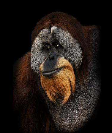 orangutang: Orangutan Portrait On Black Background