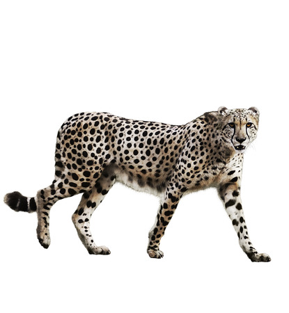 Watercolor Digital Painting Of  Walking Cheetah Isolated On White Background Reklamní fotografie
