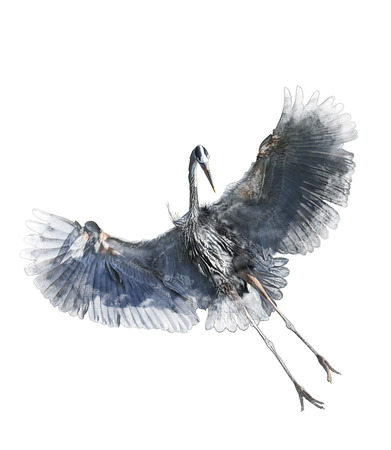 blue heron: Watercolor Digital Painting Of  Great Blue Heron In Flight On White Background Stock Photo