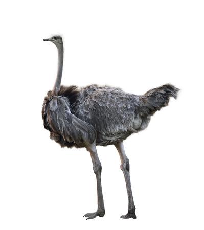 emu bird: Ostrich Isolated On White Background