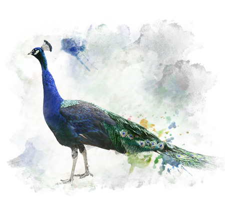 Watercolor Digital Painting Of  Peacock