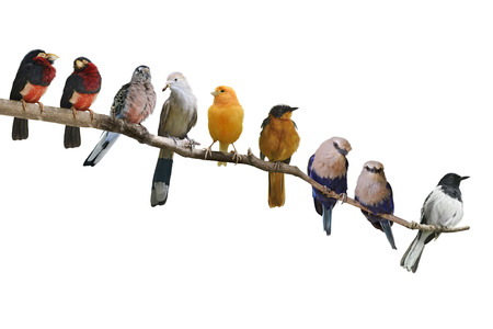 wild canary: Perching Birds Isolated On White Background Stock Photo
