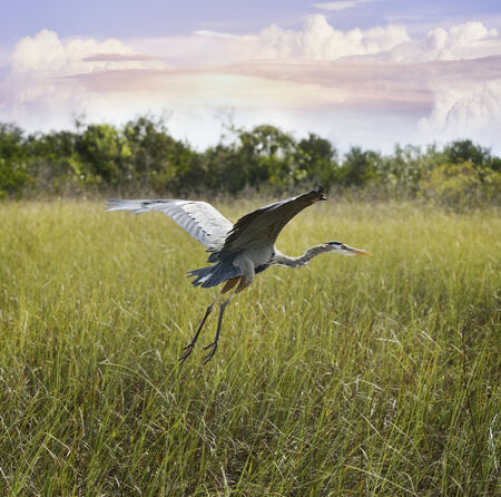 great blue heron: Great Blue Heron In Flight Over Wetland  Stock Photo